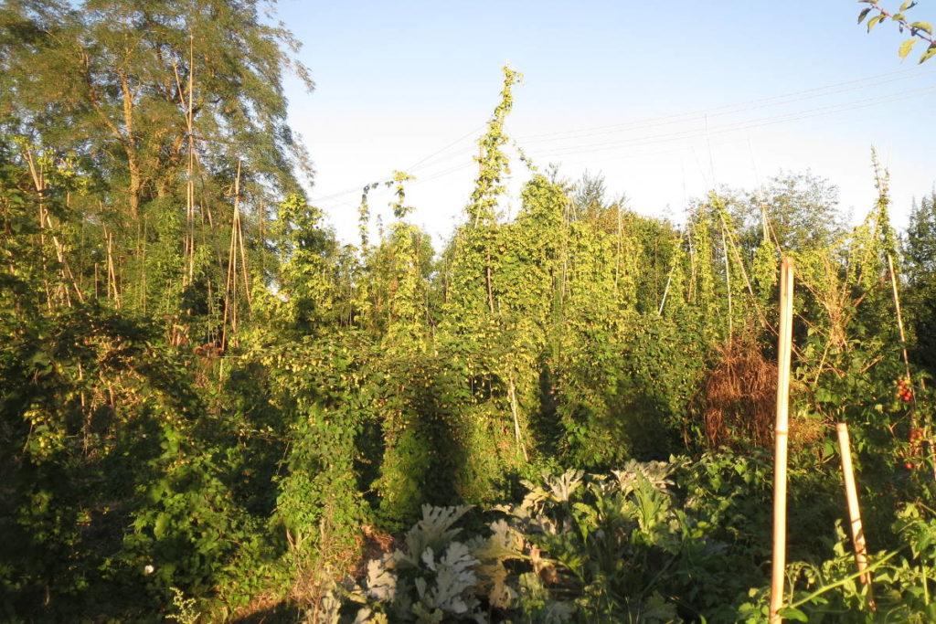 La houblonnière de Mategnin (Meyrin) · Association HoublonNous