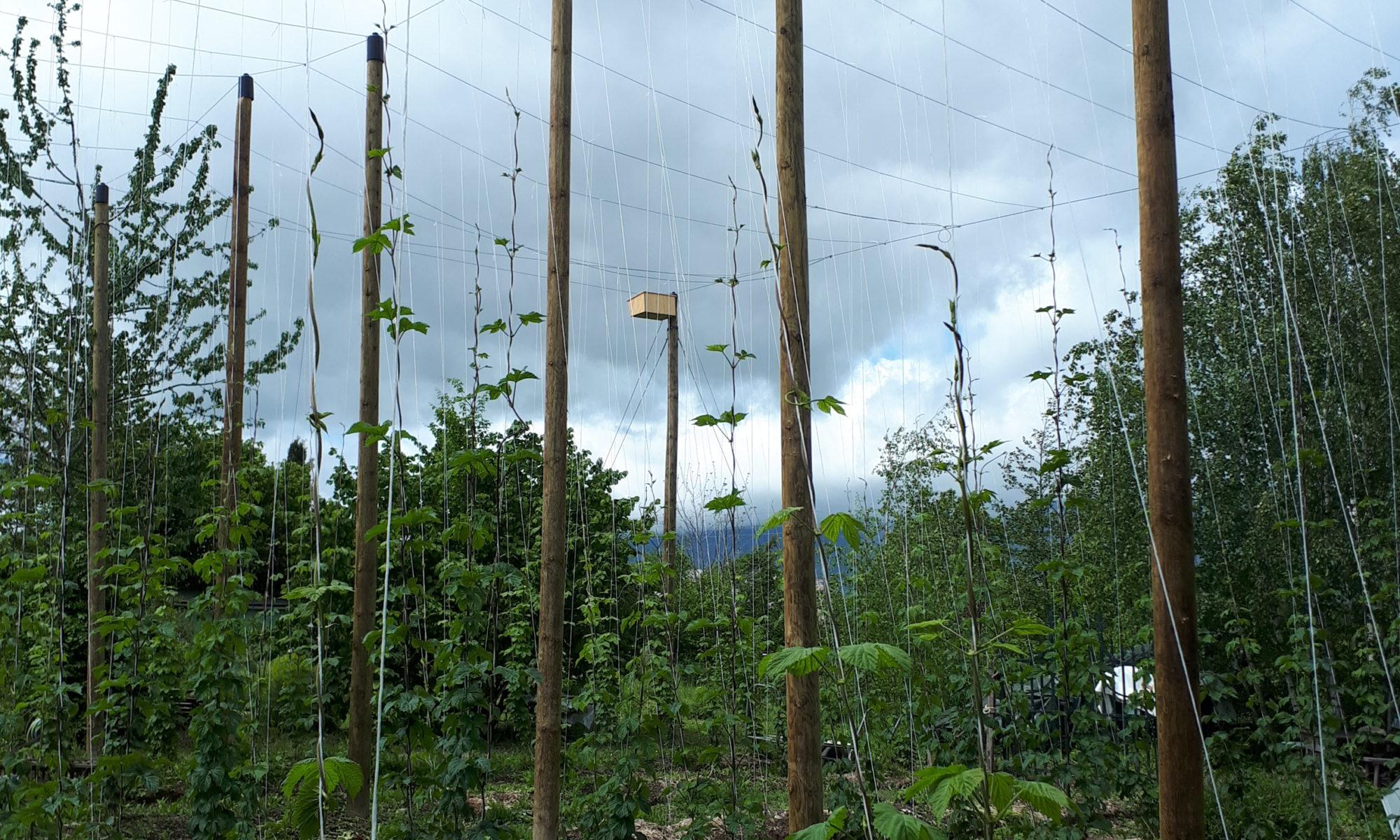 La houblonnière de Mategnin en printemps 2021 - Meyrin. Genève, du houblon local pour nos bières ultra artisanales!