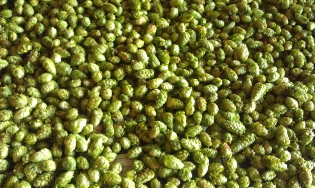 La récolte de cônes de houblon · Association HoublonNous, Mategnin, Meyrin, Genève