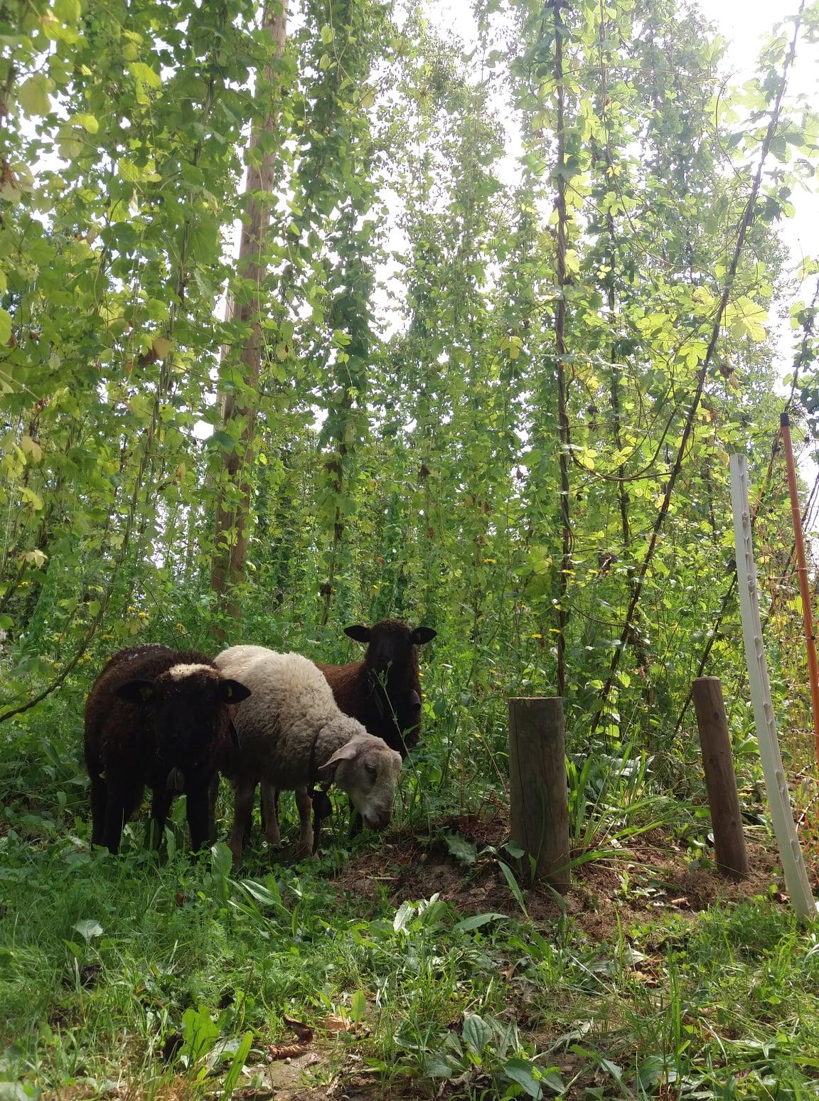 Moutons à la houblonnière (août 2021)