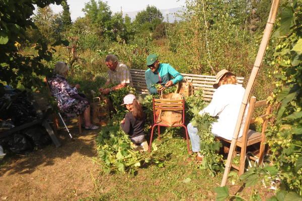 Récolte du houblon bénévoles 2019 – 3
