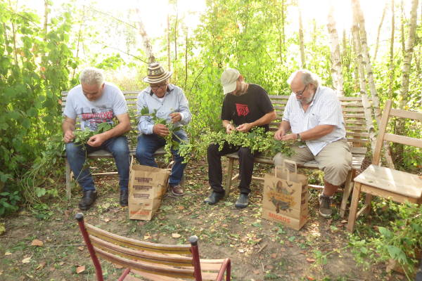 Récolte du houblon bénévoles 2019 – 4