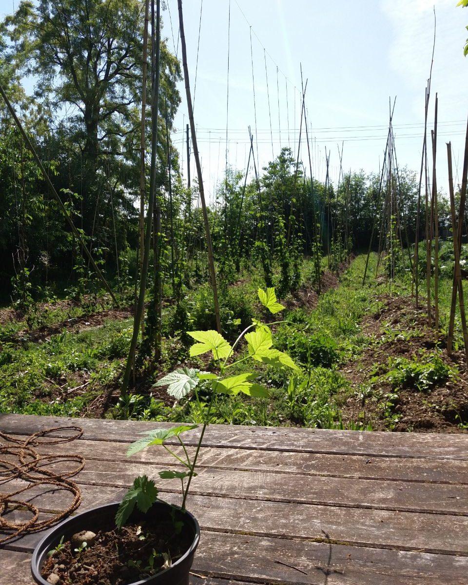 Vente de plante de houblon en pot, Association HoubonNous, Mategnin, Meyrin, Genève