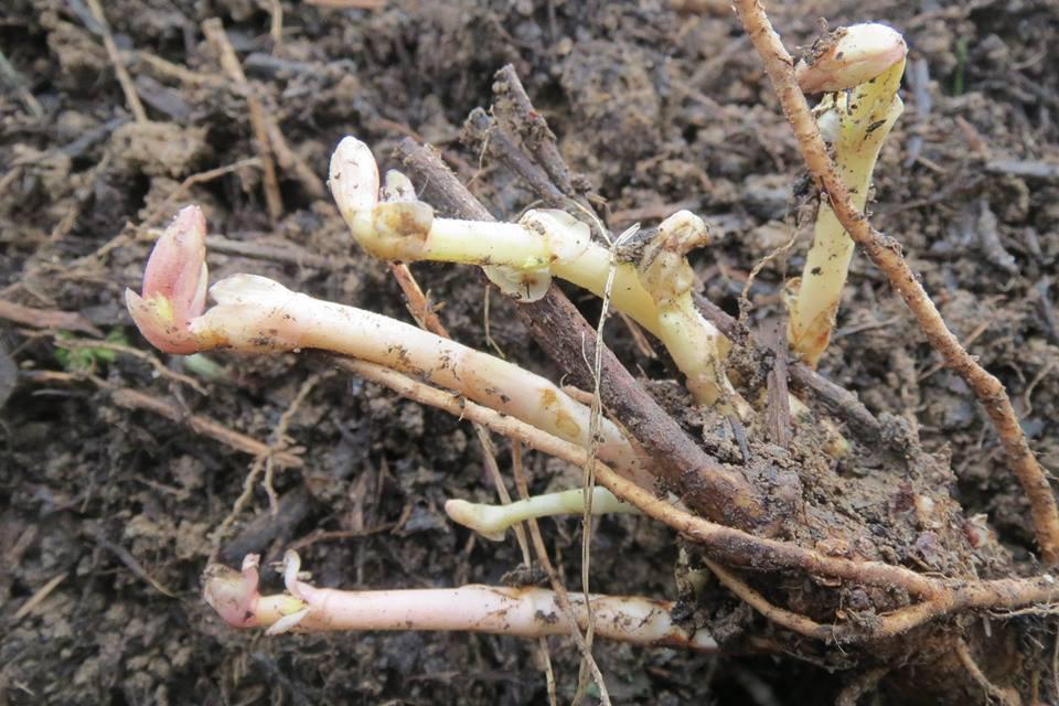 Rhizomes de houblon - association HoublonNous