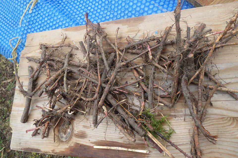 Taille des racines (rhizomes) du houblon